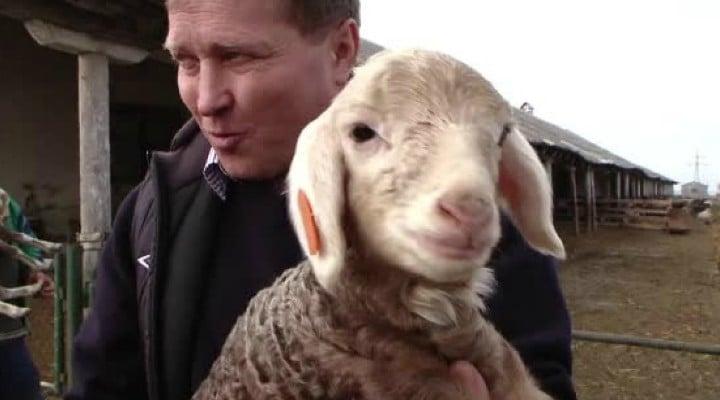 Cercetătorii români au creat oi cu lâna roz sau argintie. Cel mai valoros astrahan din ţara noastră se vinde cu 100 de euro bucata! 1