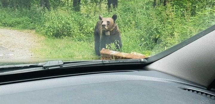 """(Foto) Razvan: """"Iartă-ne ursulețule ca nu mai ai păduri, nu mai ai casa. Noi suntem animalele, nu tu. Mesajul tău a fost foarte clar astăzi la Vidraru. """"Hrăniți-ma voi daca mi-ați distrus casa"""" 1"""