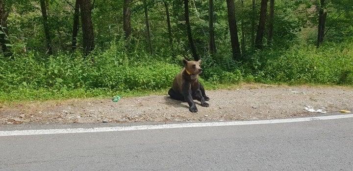 """(Foto) Razvan: """"Iartă-ne ursulețule ca nu mai ai păduri, nu mai ai casa. Noi suntem animalele, nu tu. Mesajul tău a fost foarte clar astăzi la Vidraru. """"Hrăniți-ma voi daca mi-ați distrus casa"""" 3"""