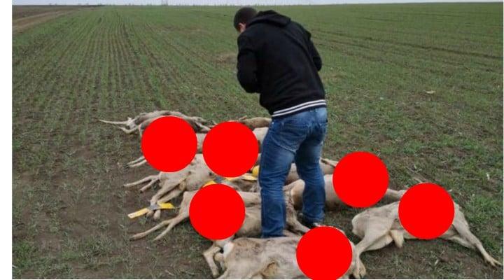 """Masacru. Zeci de căprioare şi cerbi, moarte pe câmpuri din cauza substanţelor toxice aruncate de agricultori români. """"Iar acesta nu este numărul final de animale moarte, ci doar pe cele pe care..."""" 1"""