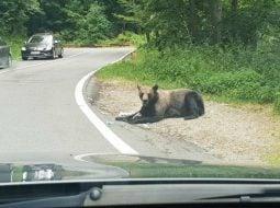 """(Foto) Razvan: """"Iartă-ne ursulețule ca nu mai ai păduri, nu mai ai casa. Noi suntem animalele, nu tu. Mesajul tău a fost foarte clar astăzi la Vidraru. """"Hrăniți-ma voi daca mi-ați distrus casa"""" 2"""