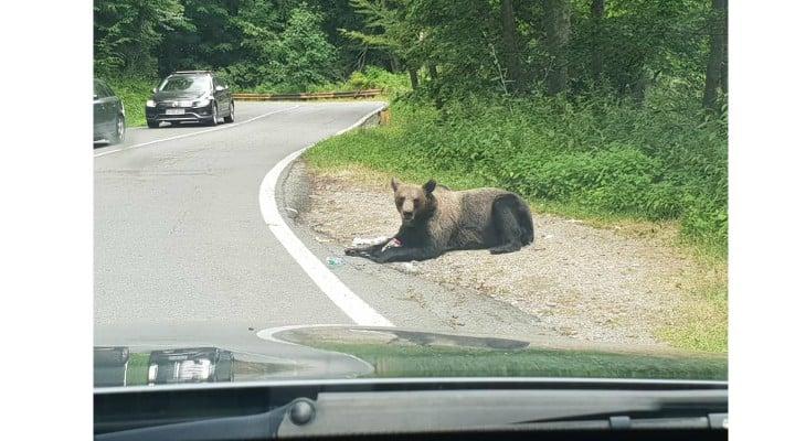 """(Foto) Razvan: """"Iartă-ne ursulețule ca nu mai ai păduri, nu mai ai casa. Noi suntem animalele, nu tu. Mesajul tău a fost foarte clar astăzi la Vidraru. """"Hrăniți-ma voi daca mi-ați distrus casa"""" 5"""