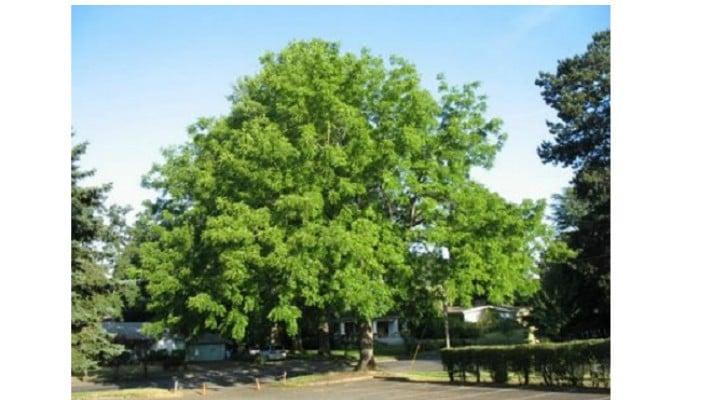 Plantaţiile de nuci forestieri ar putea deveni pădurile de aur ale României 1