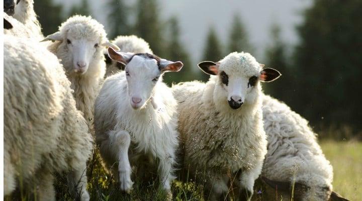 """Primele case izolate termic cu lână vor apărea în România anul acesta.  De ce e bine să izolezi casa cu lână. Arhitect: """"Dacă ştiţi cum e sub plapumă, poate să fie foarte bine. Nemţii folosesc, costurile nu sunt mici, dar..."""" 1"""